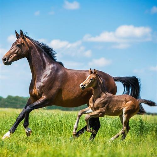 Pavo Fertile: everything needed for a pregnant mare